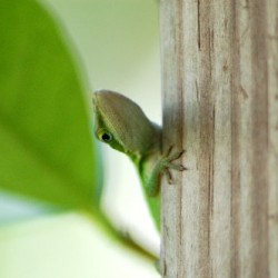 anole11