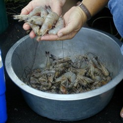 shrimpharvest1