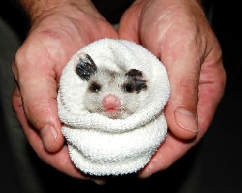 babypossum.jpg