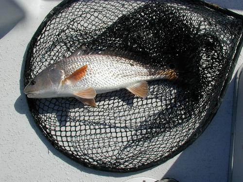 2208redfish.jpg