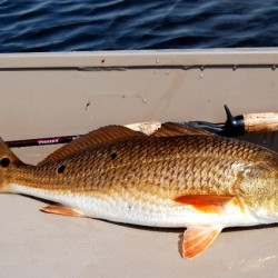 redfish-1
