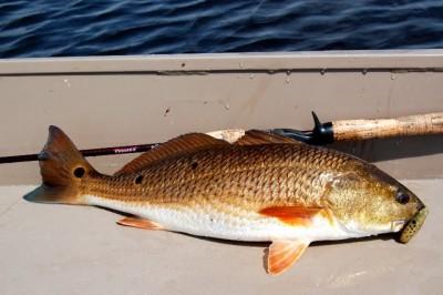redfish-1