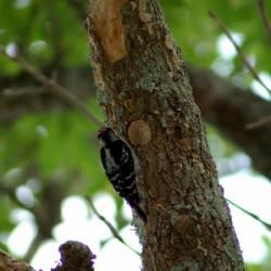 downywoodpecker111