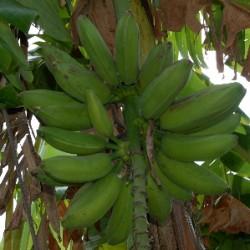 bananas2