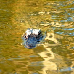 gator41