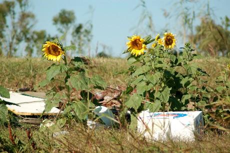 sunflowers21