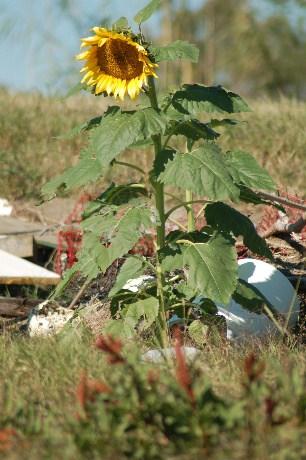 sunflowerscloseup1