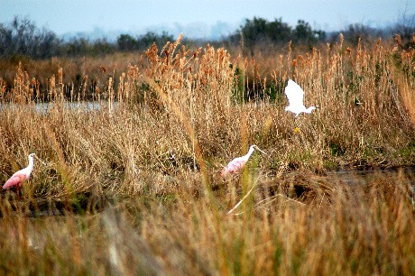 Roseate spoonbill and Egret