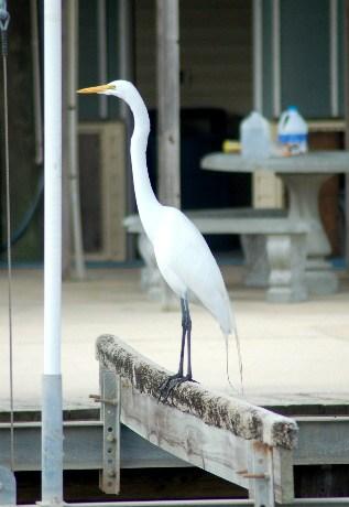 Legs the egret