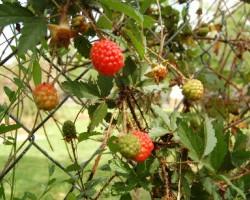 dewberries-001