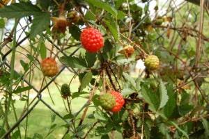 Wild Berries 1