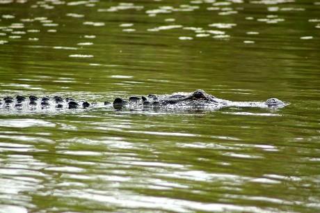 Gator closeup and personal