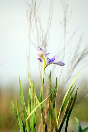 louisiana-wild-iris