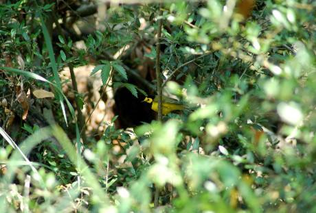 Male Hooded Warbler
