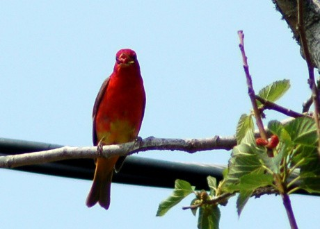Immature summer tanager