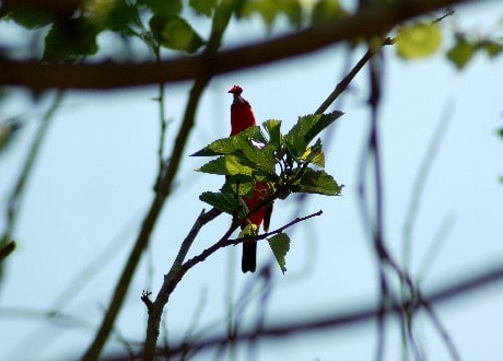 Scarlet Tanager eating Mulberry