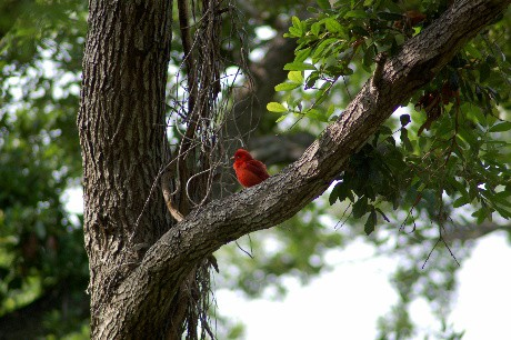 summertanager