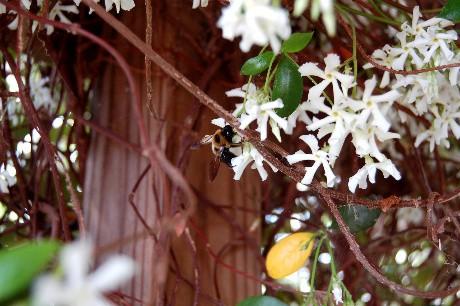 Jasmine Bee