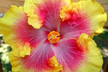 Cajun Hibiscus Year 2