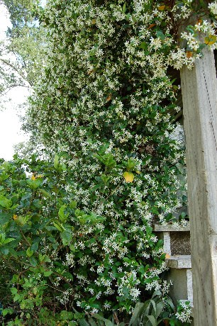 Porch Jasmine