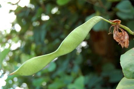 Orchid Tree Seedpod