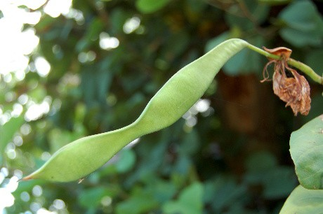 Orchid Tree Seedpod