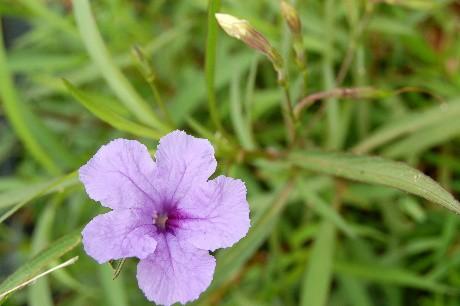 Grand's Petunia