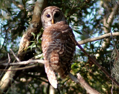 mauvais-owl-011