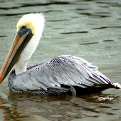 pelican-steph2