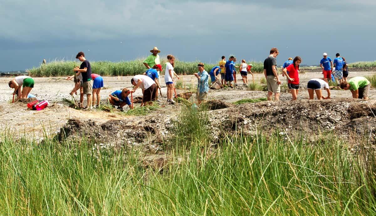 Marsh grass planting