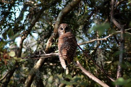 Barred Owl in cypress swamp in lower Terrebonne Parish, LA
