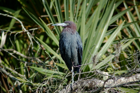 Little Blue Heron in cypress swamp in lower Terrebonne Parish, LA
