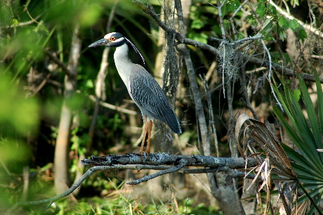 Night heron in cypress swamp in lower Terrebonne Parish, LA