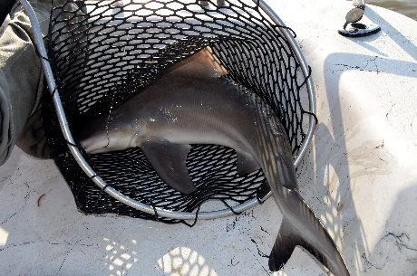 Renee`'s Black-tip shark