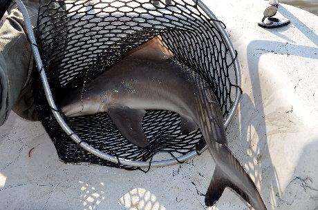 Renee`'s Black-tip shark