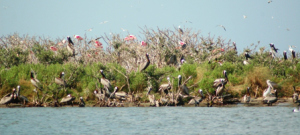 Raccoon Island Rookery