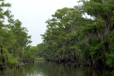 Into the Cypress Swamp