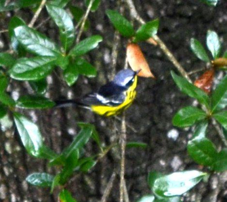 Magnolia Warbler 3