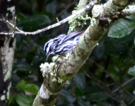 Black and White Warbler 4