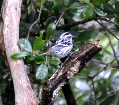 Black and White Warbler 3