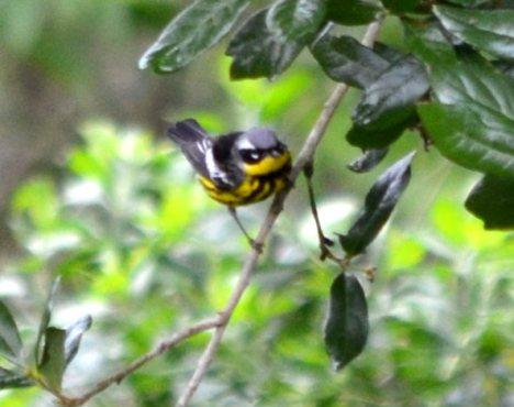 Magnolia Warbler 4