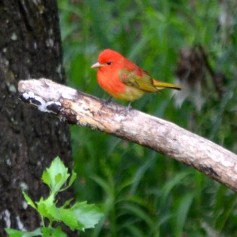 Juvenile summer tanager - photo#26