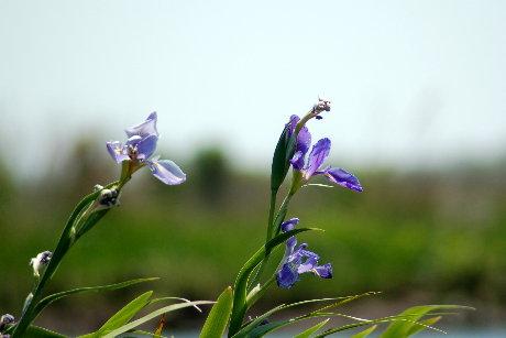 Louisiana Wild Iris
