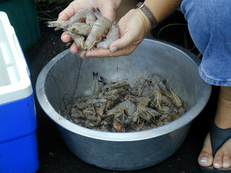 Fresh shrimp from inland waters