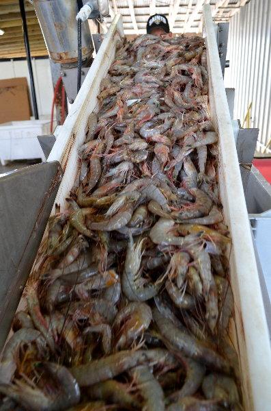 Brown Shrimp Season