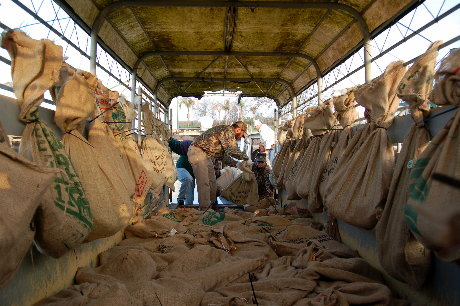 Burlap sacks hold young gators to be returned to the marsh