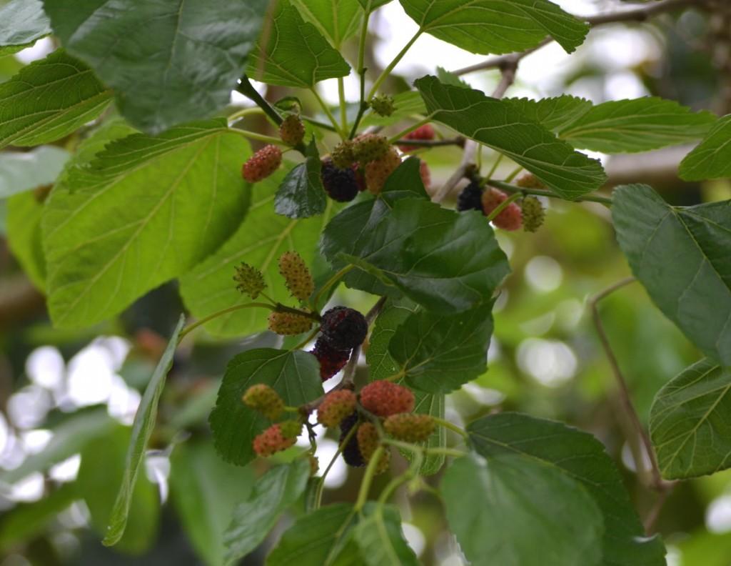 Memories, Mulberries, and More