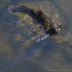 snake.eating.catfish-6-1024x7931