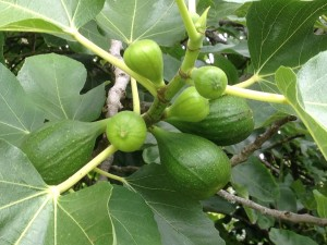 Kathy's green Figs