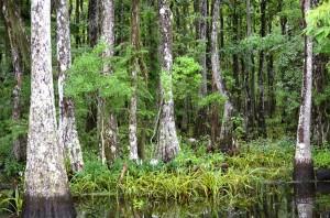 Atachafalaya Basin Swamp